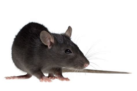 The meaning and symbolism of the word - Rat