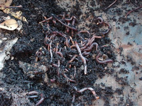 What Is Vermicomposting?   Dengarden